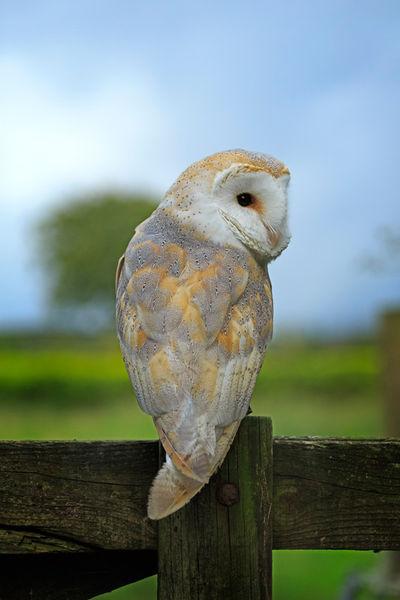 Barn-owl0072