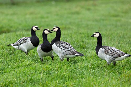 Barnacle-geese0127