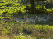 Fallow Deer at Dawn by Louise Heusinkveld