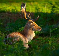 Fallow deer buck by Louise Heusinkveld