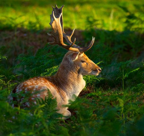 Fallow-deer-buck0141