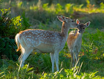Fallow deer doe with fawn by Louise Heusinkveld