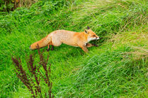 Red Fox Running Through the Grass von Louise Heusinkveld