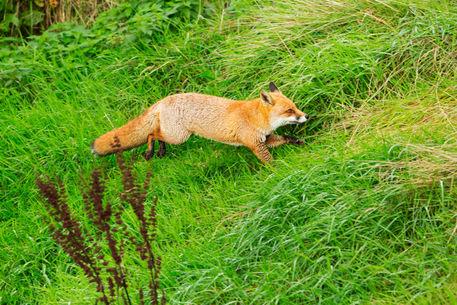 Fox0031