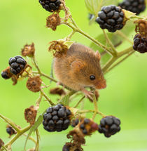 Harvest mouse on a bramble stem von Louise Heusinkveld