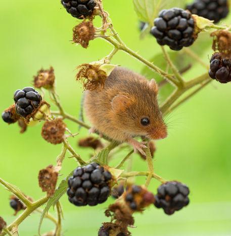 Harvest-mouse0050