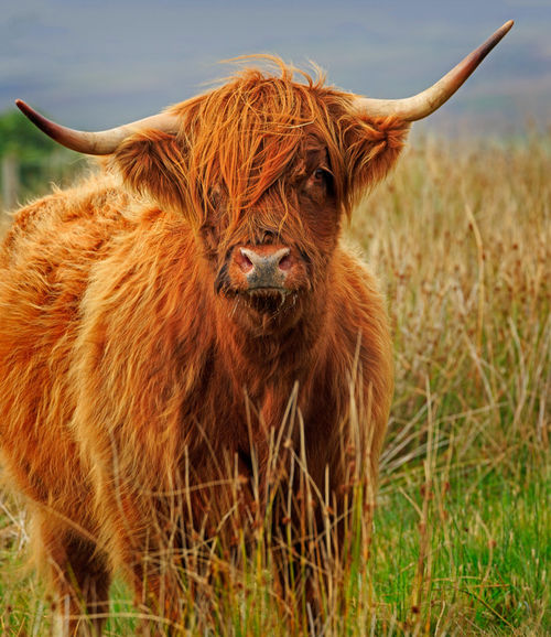 Highland-cow0161