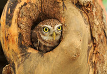 Little Owl by Louise Heusinkveld