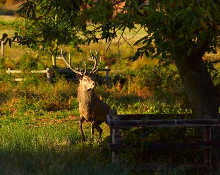 Red-deer-stag0084