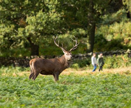 Red-deer-stag0157