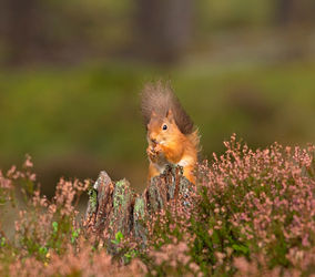 Red-squirrel0168
