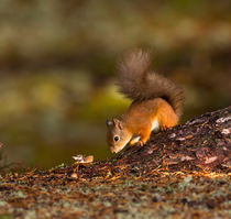 Red Squirrel in Autumn von Louise Heusinkveld