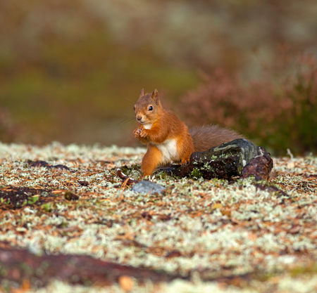 Red-squirrel0179