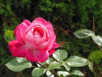 Pink rose 2 by Florentina Necunoscutu de Carvalho