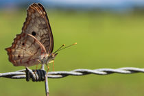 Butterfly 1 by Florentina Necunoscutu de Carvalho