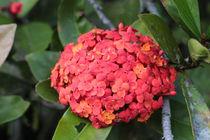 Red flowers von Florentina Necunoscutu de Carvalho