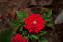 Red rose by Florentina Necunoscutu de Carvalho