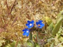 Blue tiny flowers by Florentina Necunoscutu de Carvalho