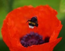 Hummelflug über Mohn, Bumblebee on poppy von Sabine Radtke