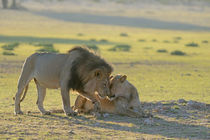Lion patriarch rubbing faces with lioness. Kalahari desert.South Africa. by Yolande  van Niekerk