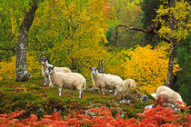 Sheep Grazing in Autumn von Louise Heusinkveld