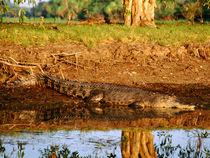 Saltwater-crocodile-australia-80-x-60-cm-plexi