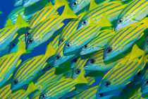 Bluelined snappers by Michael Moxter