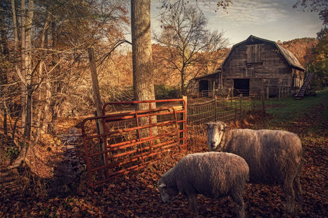 Fires-creek-two-sheep-pp-2