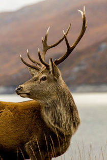 Red Deer Stag With Antlers by Derek Beattie