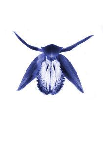 Blue Orchid von Les Mcluckie
