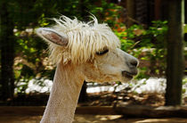 White alpaca von URSULA GILL