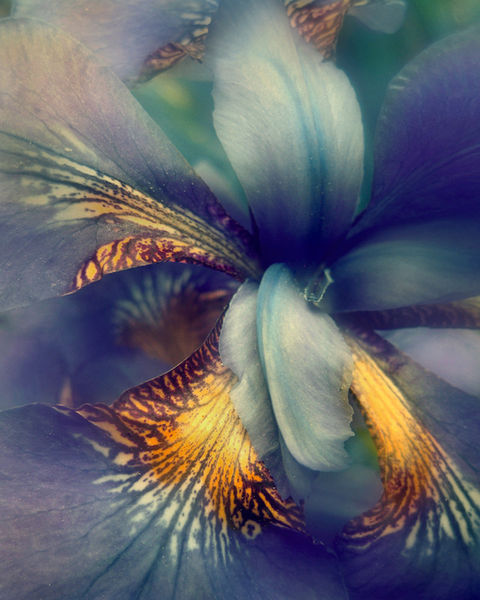 Barn-iris-ps-8x10-blue-ps