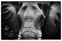 Bull Elephant von John Rizzuto