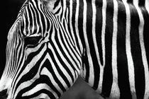Zebra by John Rizzuto