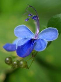Veilchen-Blüte, Ugandaveilchen, uganda violets (clerodendron ugandense) by Dagmar Laimgruber