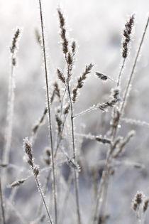 Gräser mit Rauhreif 08 von Karina Baumgart