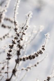 Gräser mit Rauhreif 06 von Karina Baumgart