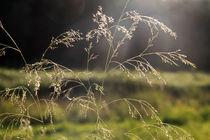 Gräser 07 von Karina Baumgart