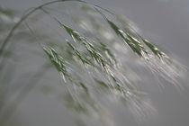 Gräser 02 von Karina Baumgart