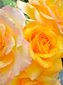 Orange and Yellow Roses by Christine Chase Cooper