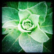 Green rose by Mikel Cornejo Larrañaga