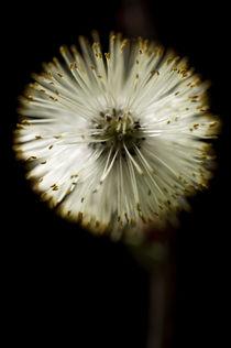 Blüte der Weide by Tonio Termeer