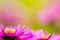 Herbstblume by jstauch