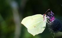Schmetterling by jstauch