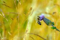 Biene beim Sammeln by jstauch