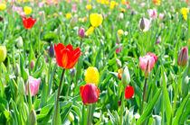 Tulpenfeld von caladoart