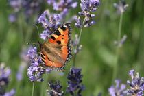 kleiner Helfer, butterfly von Christian Busch