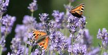 fleißige Helferlein, butterfly von Christian Busch