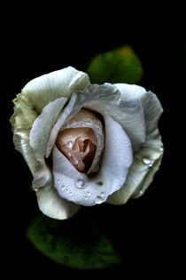 White rose by Doug McRae