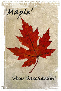 Maple Leaf by David Pringle